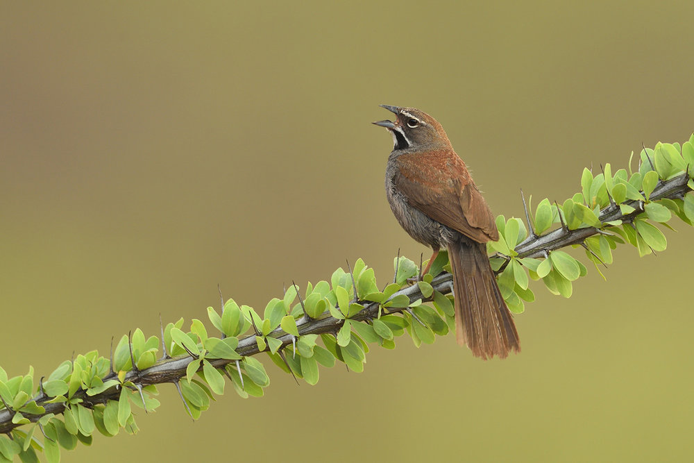 Five-striped Sparrow © John Crawley