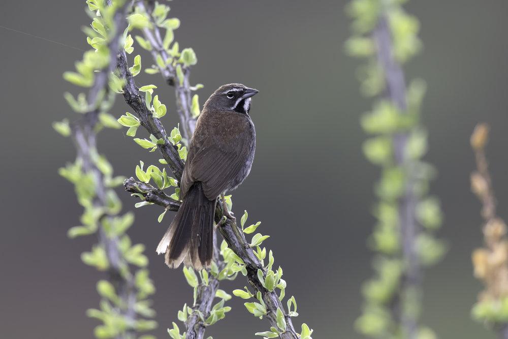 five-striped_sparrow_2L0A4105b.jpg