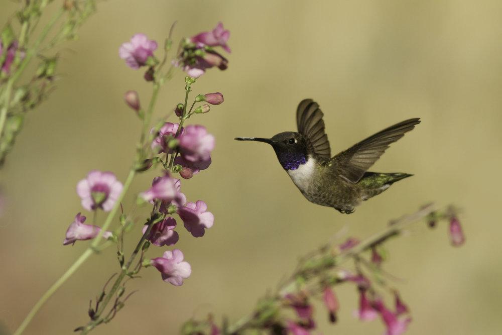 black-chinned_hummingbird_9147b.jpg