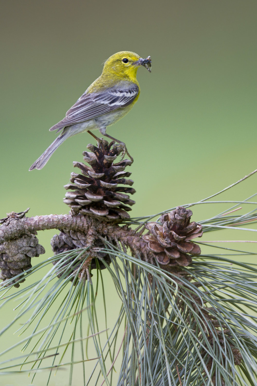 pine_warbler_0381524c.jpg