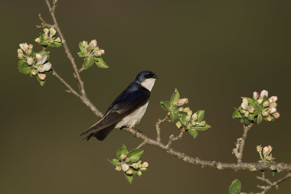 tree_swallow_DU3A9022b.jpg