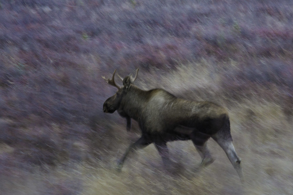 moose_00505773.jpg