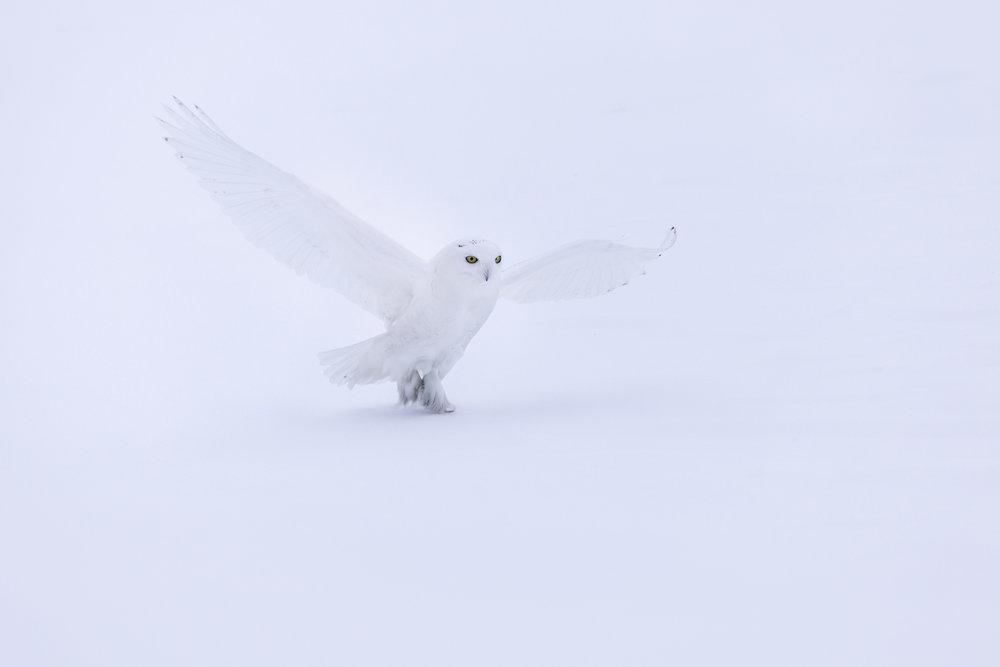 snowy_owl__4806c-Edit.jpg