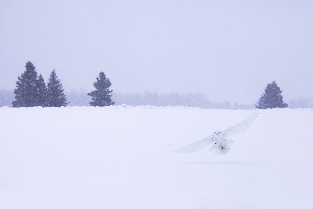 snowy_owl_4595b.jpg