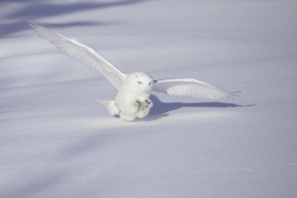 snowy_owl_4927b.jpg