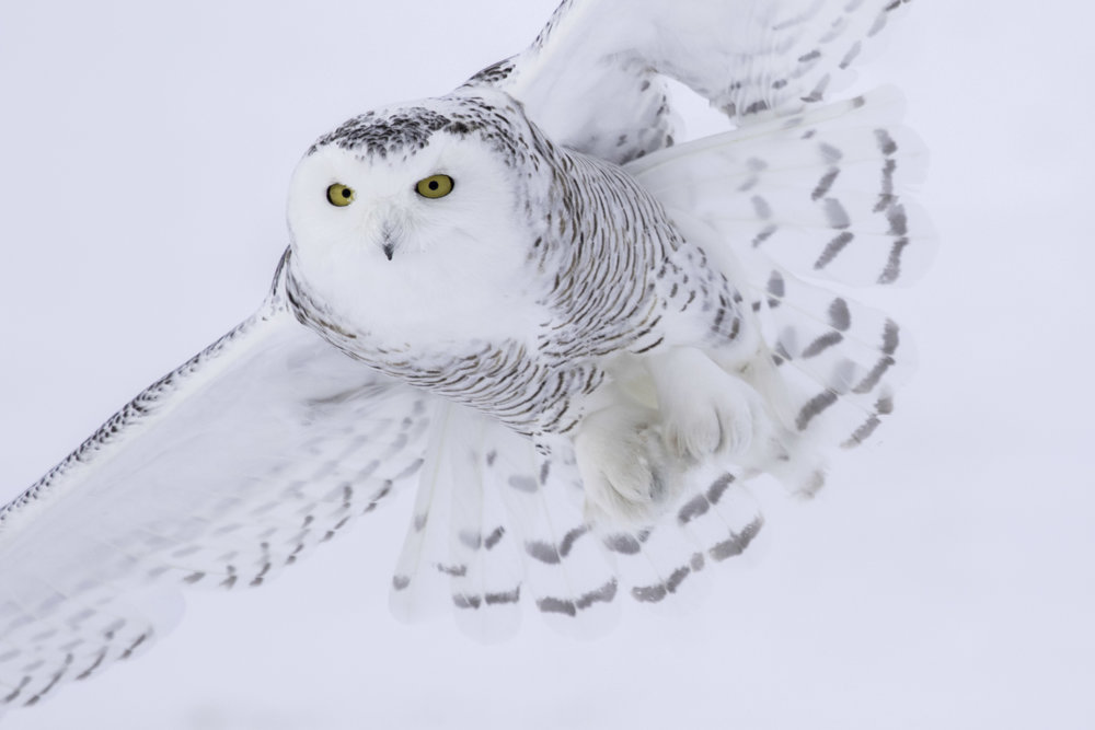 snowy_owl_C76A7398b.jpg