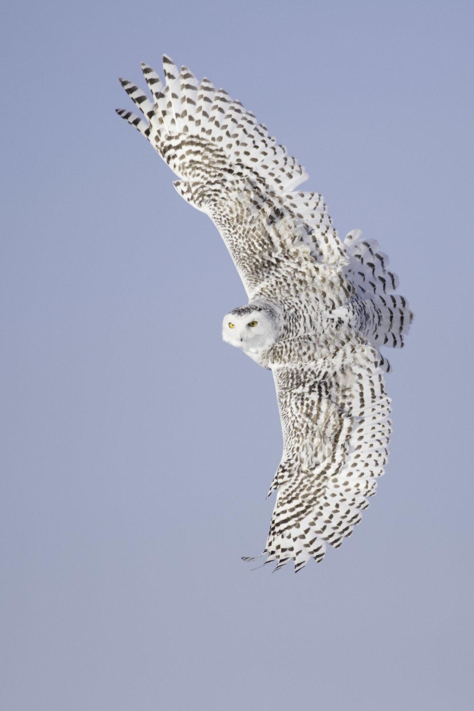snowy_owl_C76A8050b.jpg