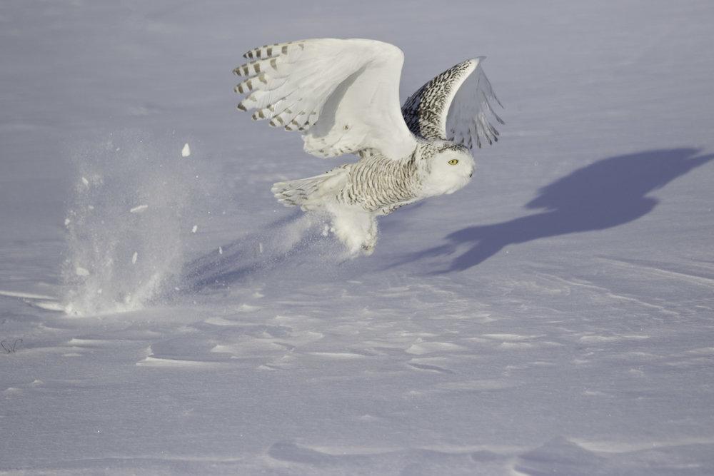 snowy_owl_C76A6892b.jpg