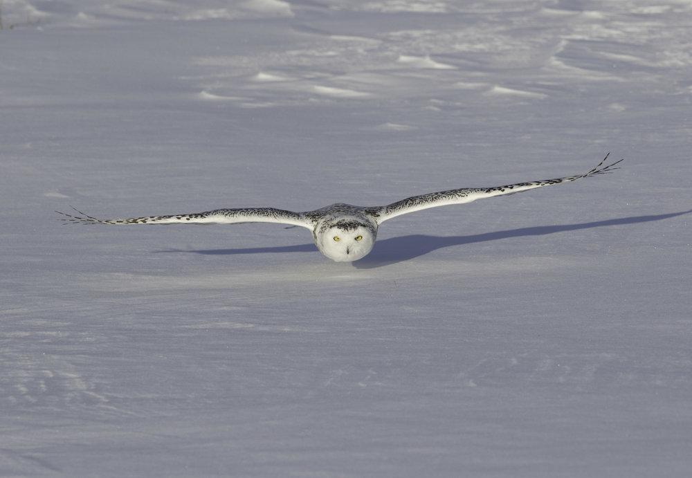 Snowy_owl_C76A6911b.jpg