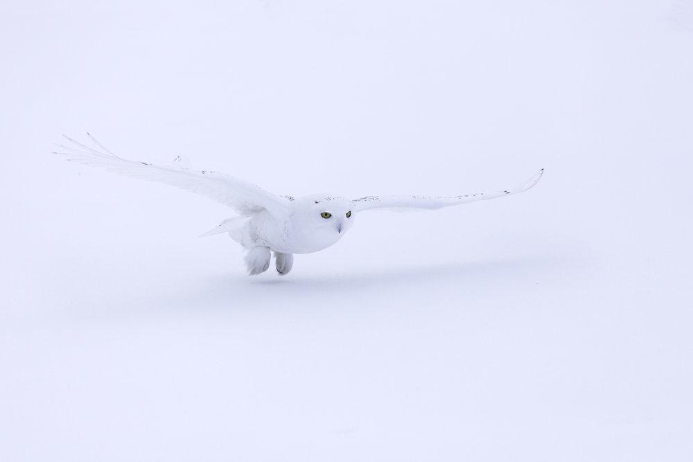 snowy_owl_4831b.jpg