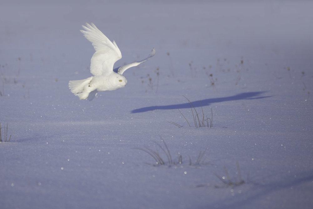 snowy_owl_4896b.jpg