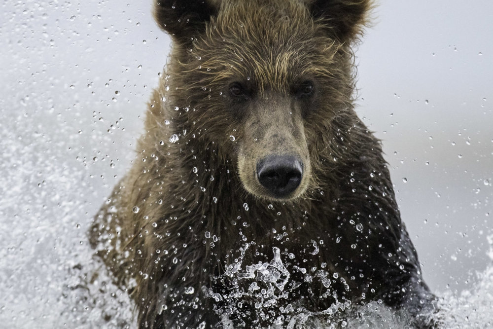 brown_bear-2L0A9287.jpg