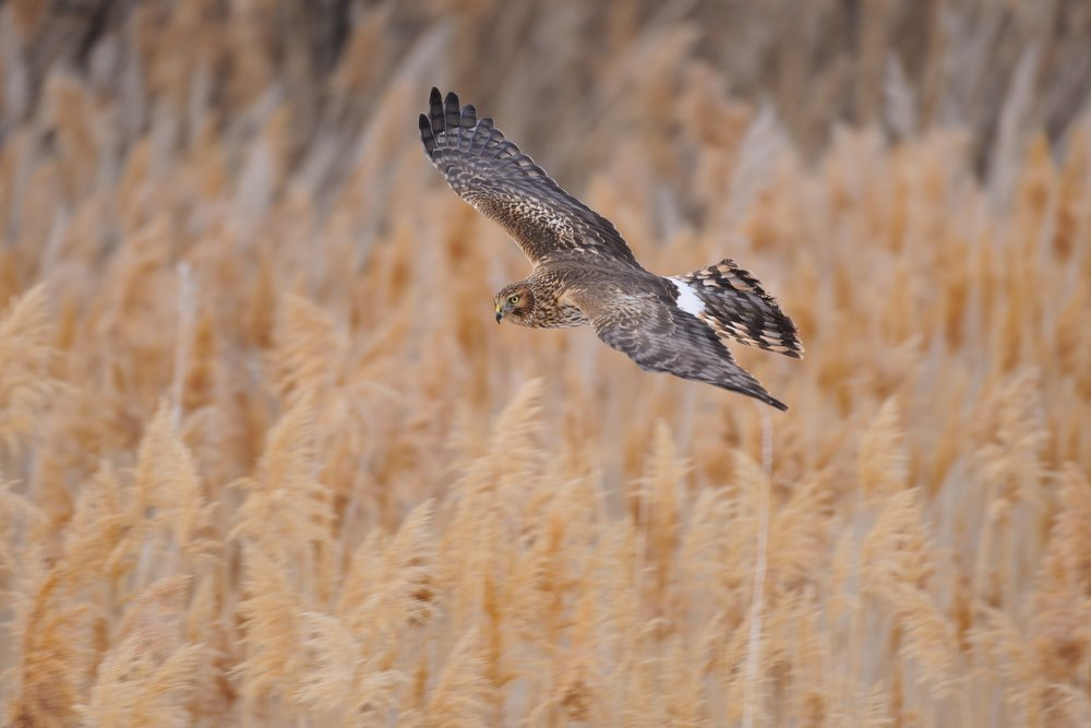 Northern Harrier © John Crawley
