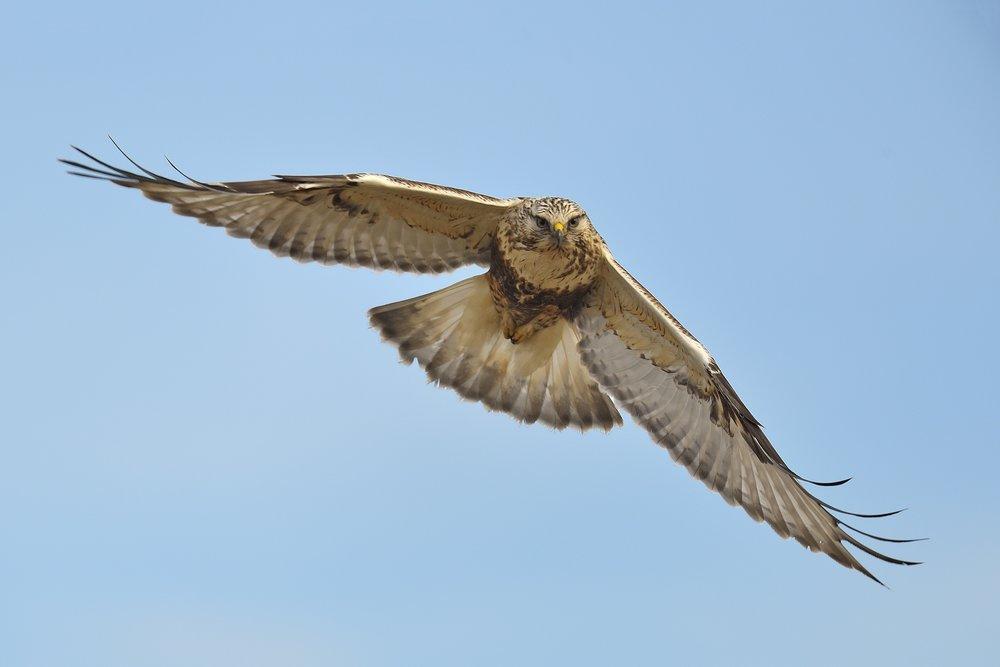 Rough-legged Hawk © John Crawley