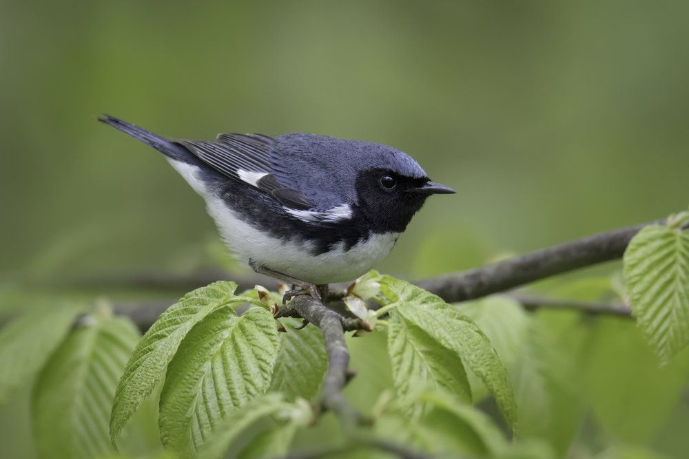 black-throated_blue_1H7A2130.jpg