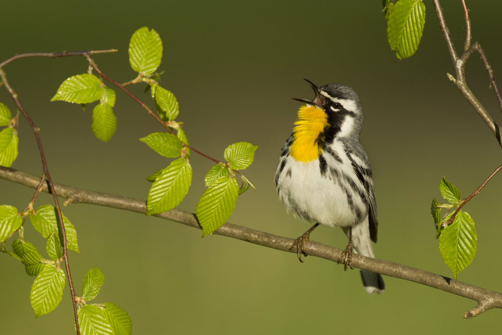 yellow-throated_warbler_00388138c.jpg