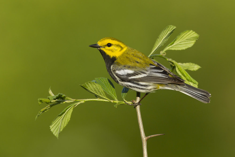 black-throated_green_warbler_00388679b.jpg
