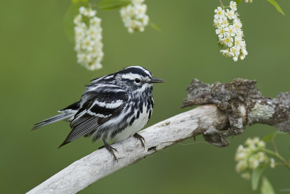 black-and-white_warbler_EI8C0230973b.jpg