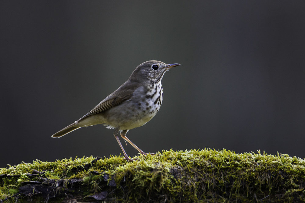 hermit_thrush_MG_9366-Edit.jpg