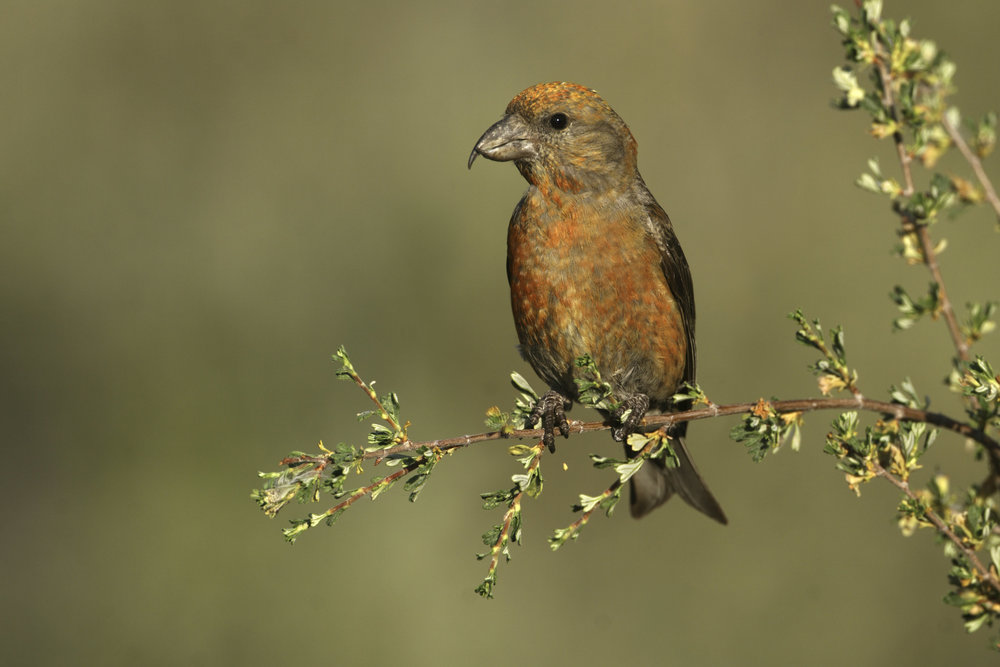 red_crossbill_7602-Edit.jpg