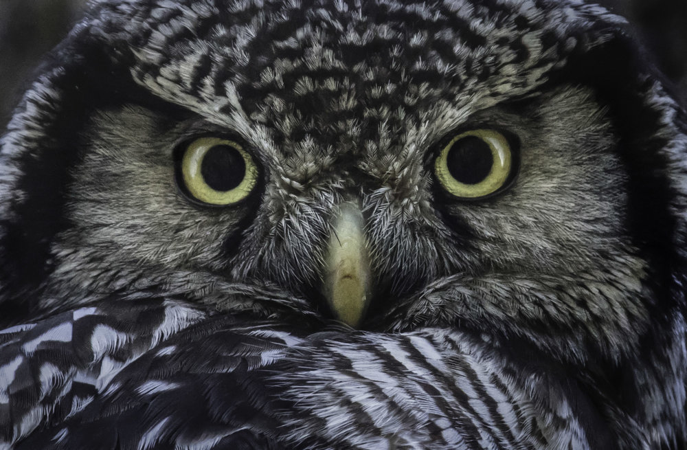 northern_hawk-owl_1H7A3256b.jpg