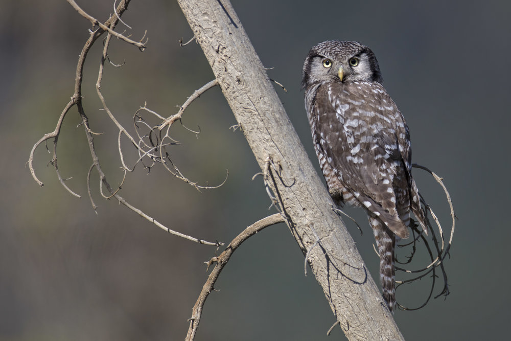 northern_hawk_owl_1H7A3221b.jpg