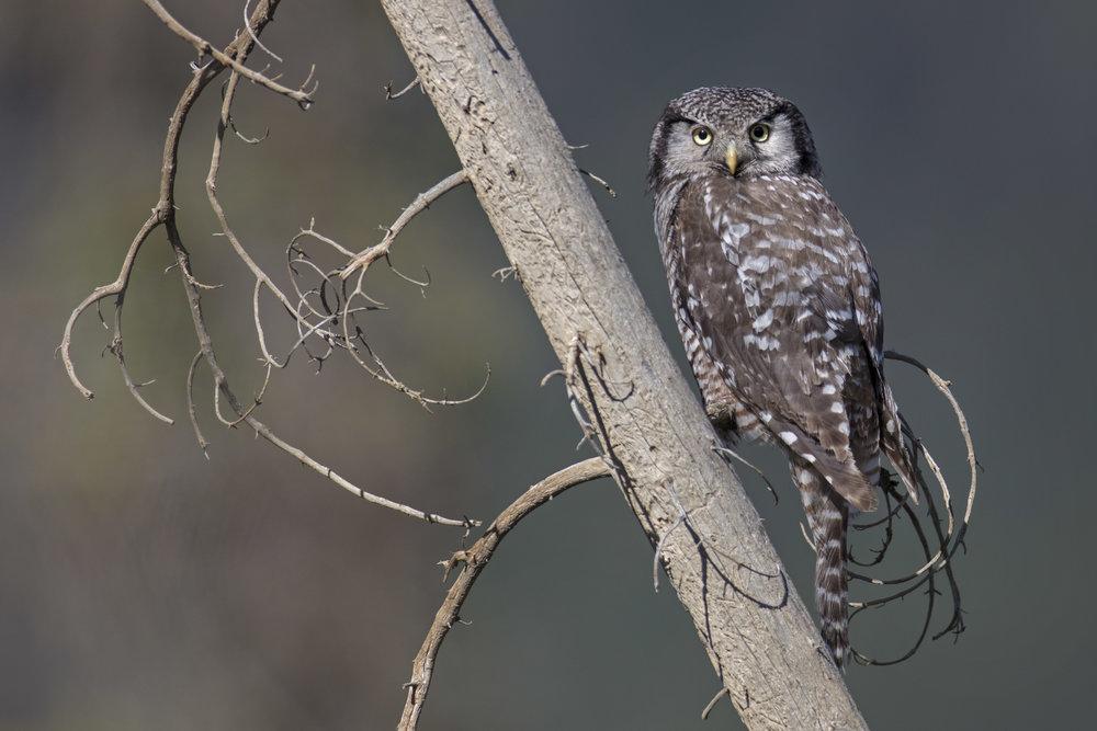 northern_hawk_owl_1H7A3221b.jpg