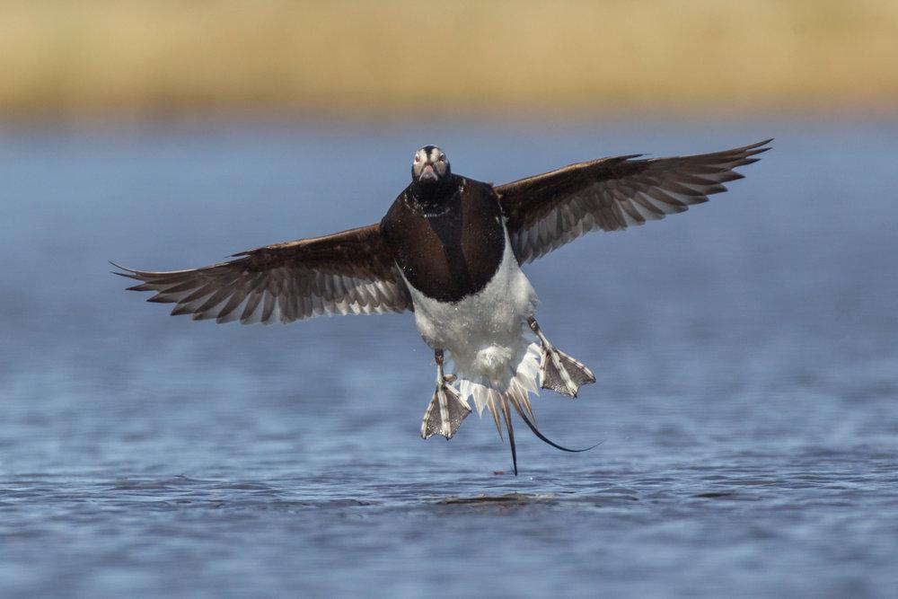 long-tailed_duck_N0000431b.jpg