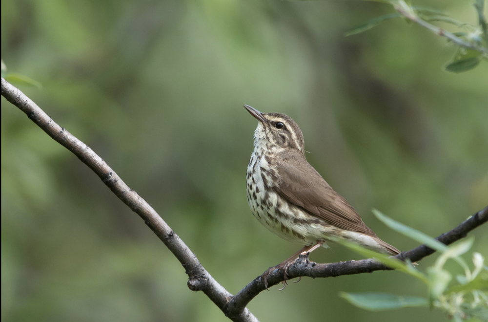 Northern Waterthrush © 田 靜玲 Tien