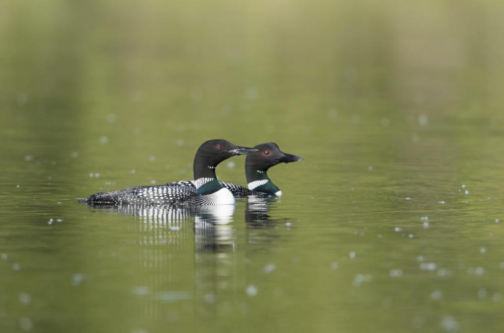 Common Loons © 田 靜玲 Tien