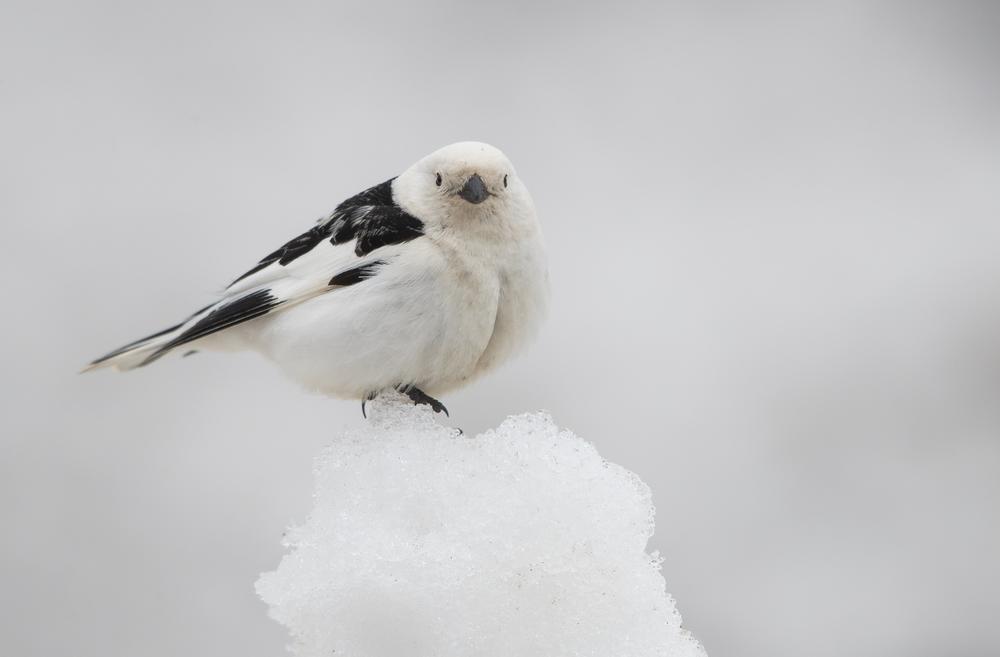 Snow Bunting © 田 靜玲 Tien