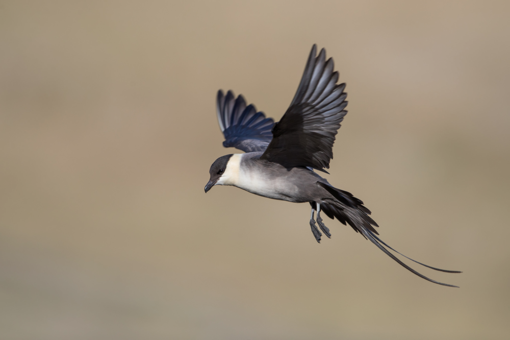 Long-tailed Jaeger - © 田 靜玲 Tien