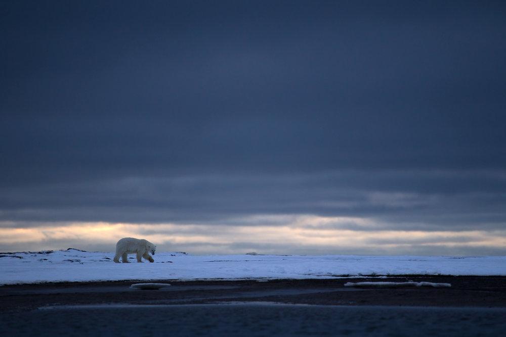 polar_bear_00459712w20.jpg