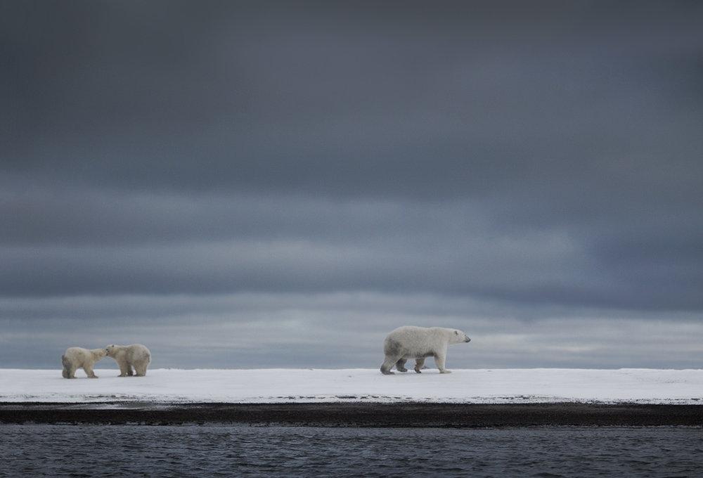 polar_bear_00459797w10.jpg