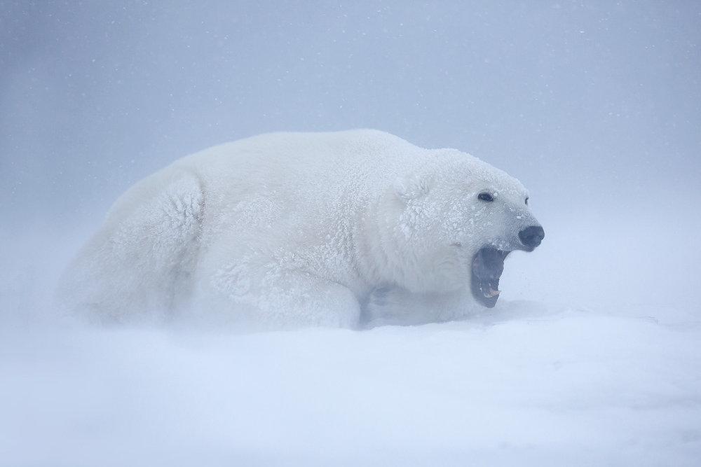 polar_bear_00500733w10.jpg