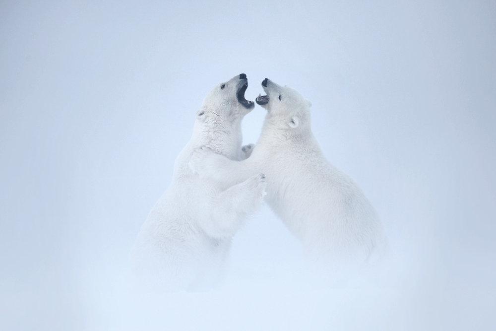 polar_bear_00505673w10.jpg