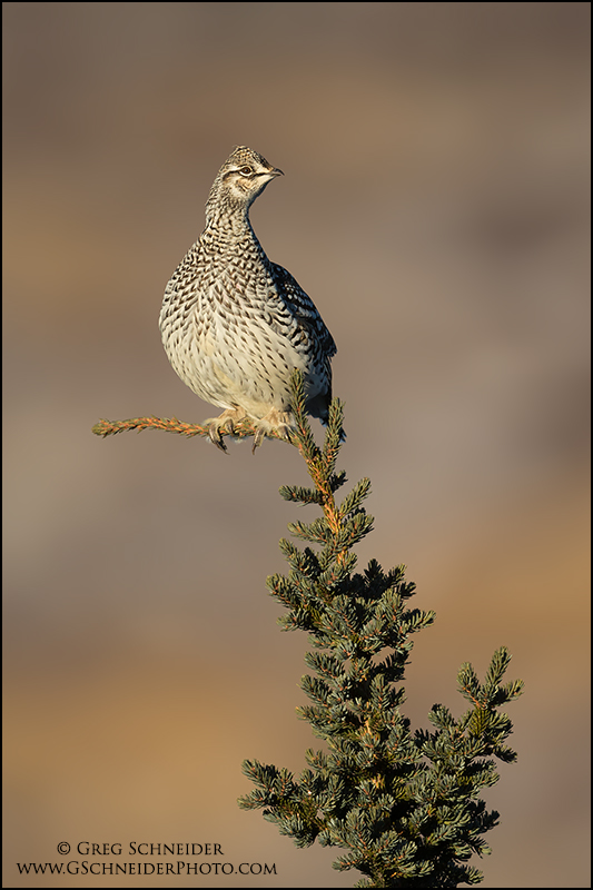 sharp-tailed-grouse-on-spruce-tip_1614.jpg