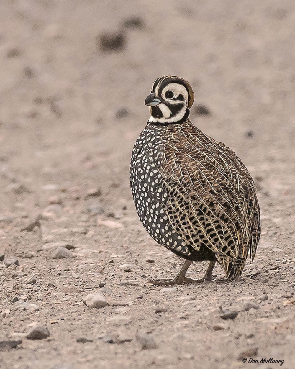 Montezuma Quail © Don Mullaney