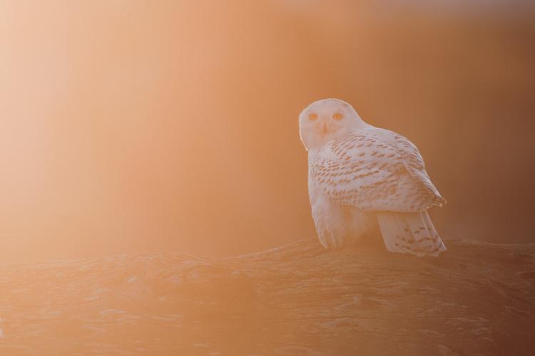 snowy_owl_00426765b.jpg
