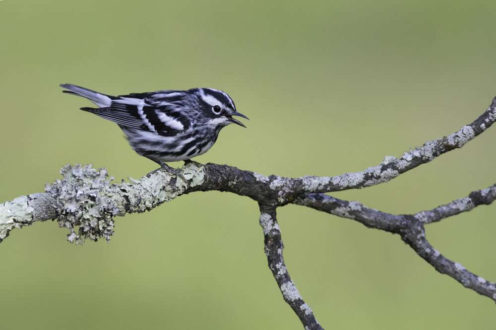 black-and-white_warbler_0R6A9699b.jpg