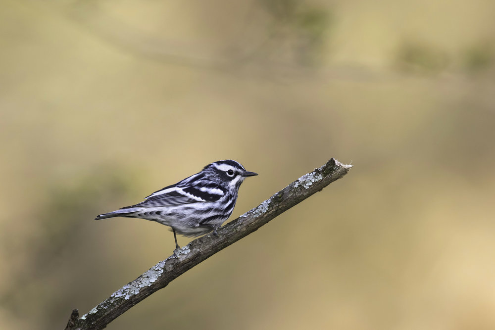 black-and-white_warbler_0R6A9685b copy.jpg