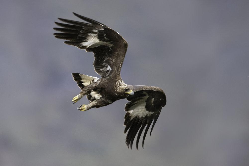 golden_eagle_9153b.jpg