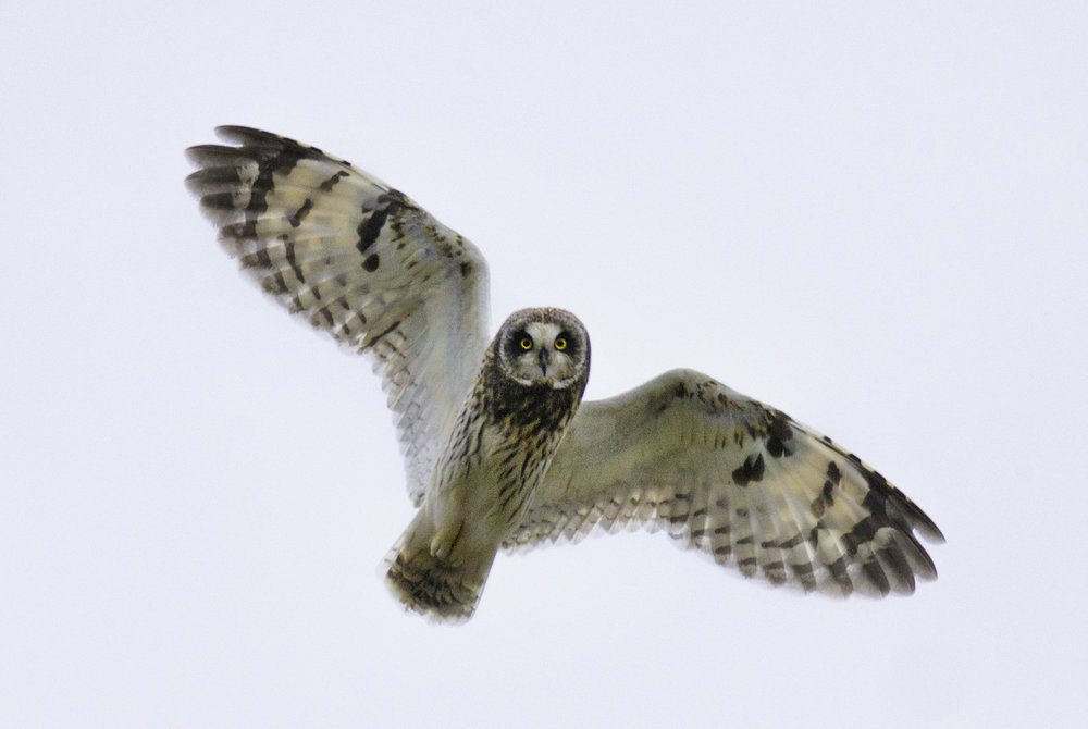 short-eared_owl_AE2R3032b.jpg
