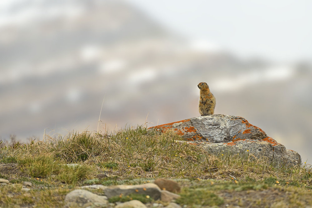 Arctic Ground Squirrel © John Crawley