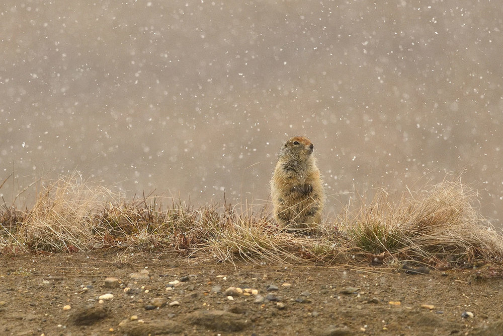 Arctic Ground Squirrel © John Crawley