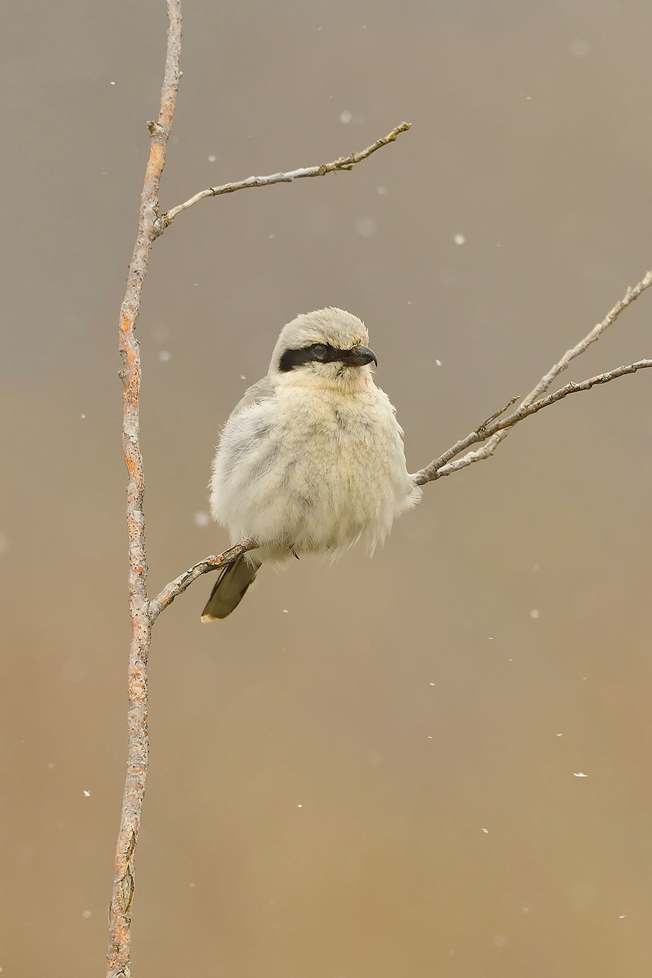 Northern Shrike - © John Crawley