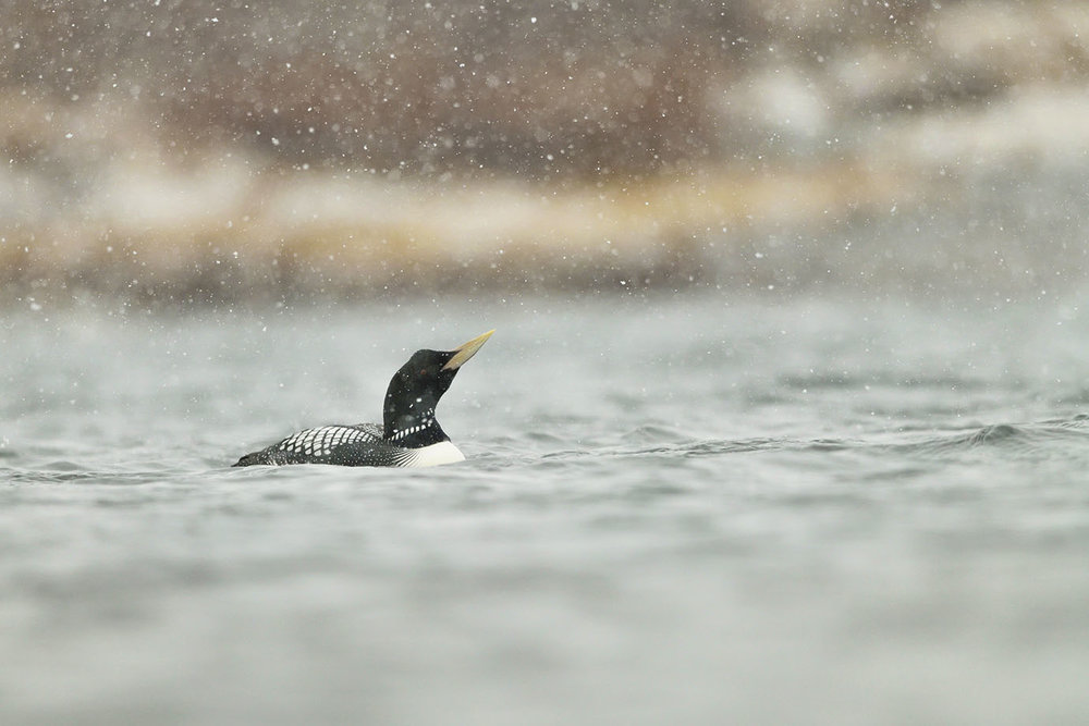 Yellow-billed Loon - © John Crawley