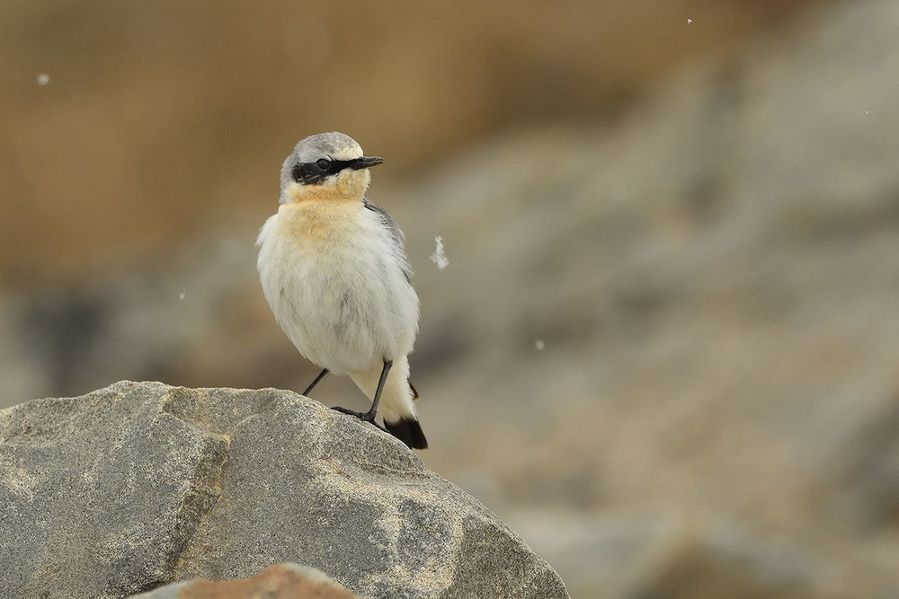 Northern Wheatear - © John Crawley