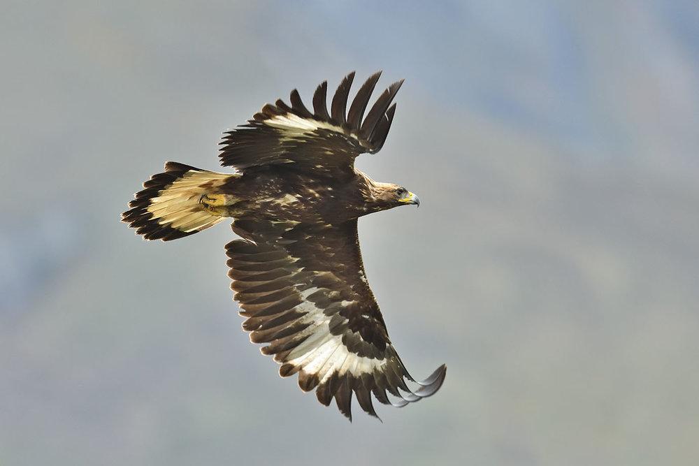 Golden Eagle - © John Crawley