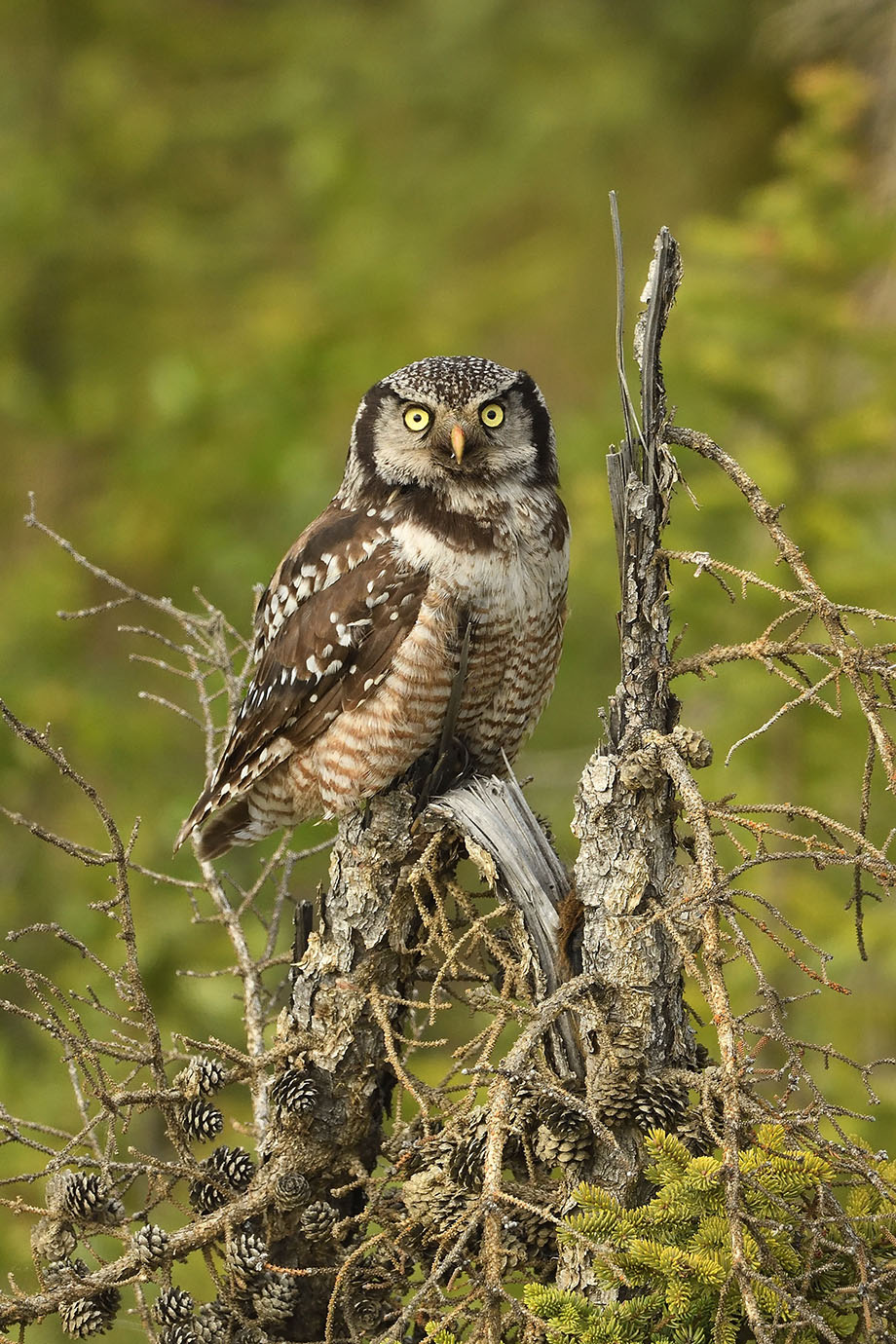 Northern Hawk Owl - © John Crawley
